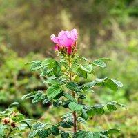 цветет шиповник в сентябре :: Елена