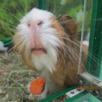 Морская свинка. :: Зинаида