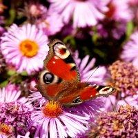 бабочки на осенней флоре 3 :: Александр Прокудин