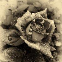 В лепестках хранит царица, тайну нежности, любви :: Валерий Ткаченко