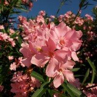 Цветы юга :: Наталья Владимировна