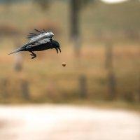 Ворона колет грецкие орехи, кидая их с высоты на асфальт. :: Игорь Геттингер (Igor Hettinger)