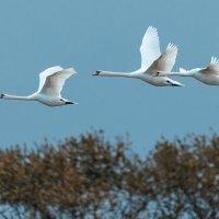 Лебедь шипун, грациозная птица не только на воде, но и в воздухе. :: Игорь Геттингер (Igor Hettinger)