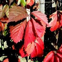 Старый забор украсила осень!... :: Лидия Бараблина