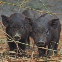 Вьетнамские свинки :: Michael Mh MH100181