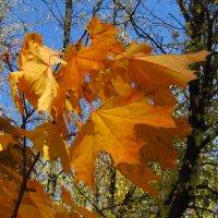 Кленовые листья :: Наталья Красильникова