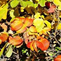 Осенний шиповник :: Зинаида Каширина