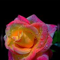 Последняя роза :: Владимир Хатмулин
