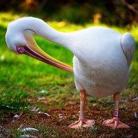 Пеликан :: David Lerer