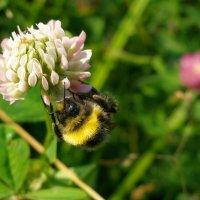 Пчела на клевере :: Иван Семин
