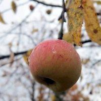 Последнее яблоко. :: Люба
