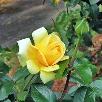 Про желтые розы :: Liliya Kharlamova