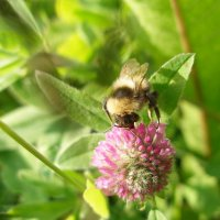 Пчелка :: Иван Семин