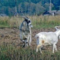От чего козла на цепь посадили? :: Валерий Иванович