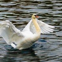 лебедь на озере :: Лада