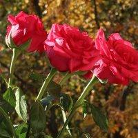 Розы на окне, осень за окном :: Надежд@ Шавенкова
