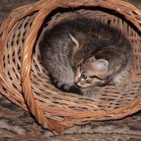 Котенок в корзинке :: Cissa Andebo