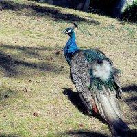 Павлин самая красивая птица среди куриных :: Галина