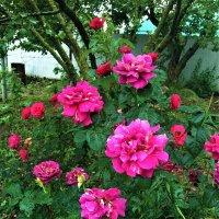 Розовый куст :: Алла ZALLA