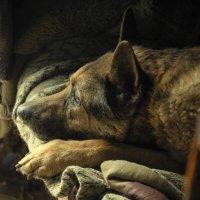 Пёс :: Антуан Мирошниченко
