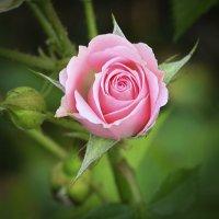 Последние розы этого года. :: Oleg4618 Шутченко