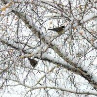 Синицы рады снегу . :: Мила Бовкун