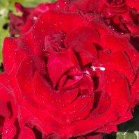 Розы всегда прекрасны! :: Нина Андронова
