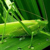 Зеленый кузнечик (имаго) после дождя :: Лидия Бараблина
