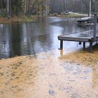 Желтые иголки пруд заполонили... :: galina bronnikova