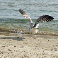 Серебристая чайка :: Alm Lana