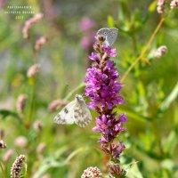 две бабочки :: Оксана Гуляева