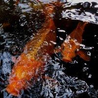 Золотые рыбки... :: Maks Seamen