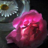 ромашка и роза :: Маргарита Башева
