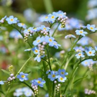 цветы :: Лена Лихоман