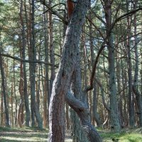 Танцующий лес :: Павел Тюпа