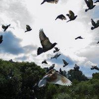 голуби :: Евгений Лавров