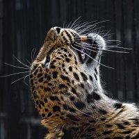 Свободу леопардам! :: Nn semonov_nn