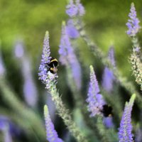 версальские пчелки :: julia julia