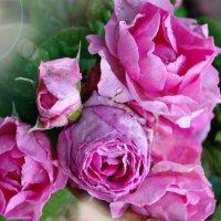 Утренняя роза :: Олеся