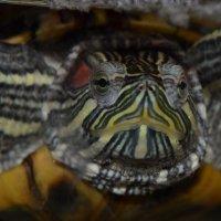 черепаха4 :: елена макина