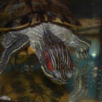 черепаха3 :: елена макина