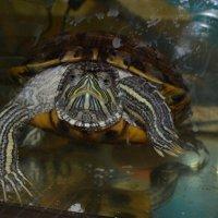 черепаха2 :: елена макина