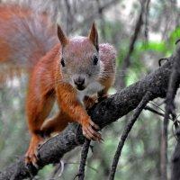 Squirrel: I go to You :: Roman Ilnytskyi