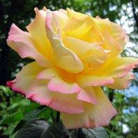 Роза :: Slava Kappa