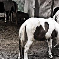 Пони тоже кони :: Алексей Гончаров