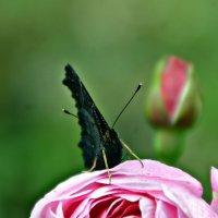 Бабочка :: Олеся