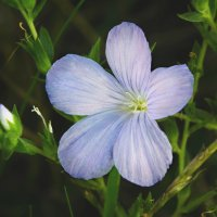 полевой цветок :: Victoria Vasilache