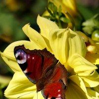 дневной павлиний глаз на желтом :: Александр Потапов