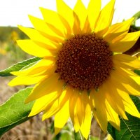 Sunflower :: Alets Ra