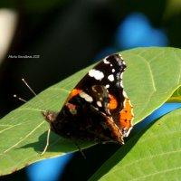 Бабочка :: Мария Ковалёва